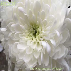 BOOF - The Hydrangeas Whisper : RUNNING BACK (GER)
