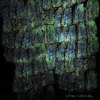 CLAN CAIMAN - Asoma : EM RECORDS (JPN)